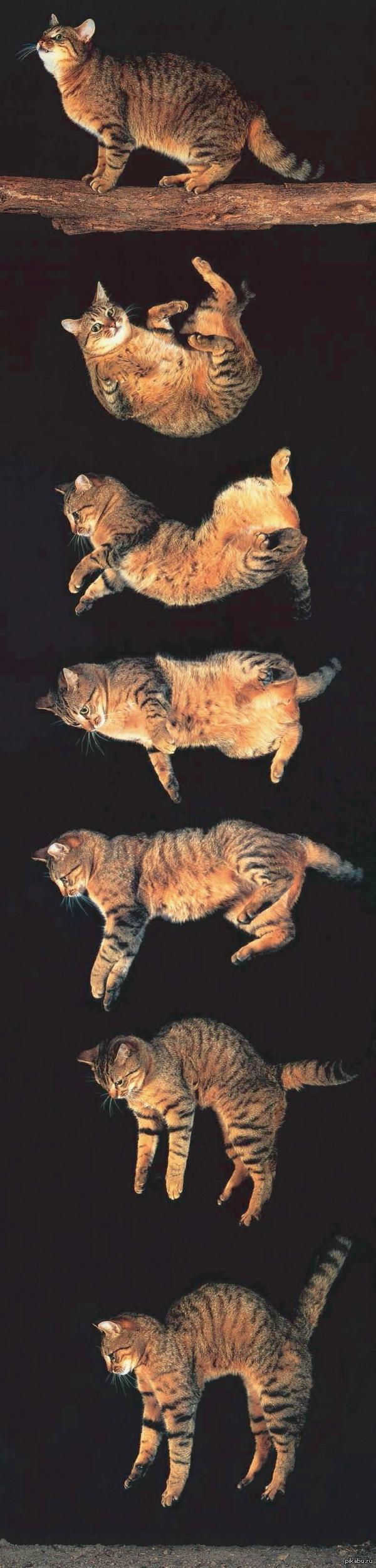 Почему кот падает на лапы