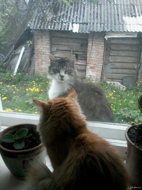Первая встреча нашего кота с уличным. Оба как бэ недоумевают