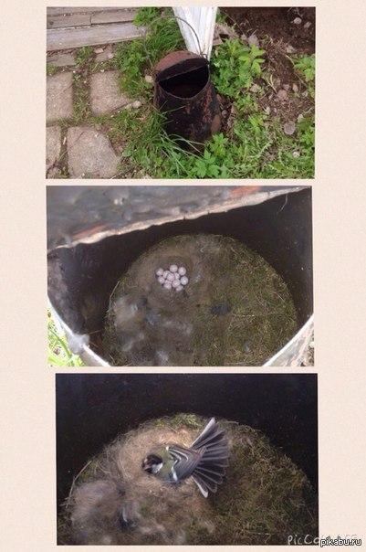Нашёл на даче гнездо. На даче в старом ведре обнаружил гнездо. 12 яиц. Теперь кошек нельзя брать с собой пока все птенцы не разлетятся.