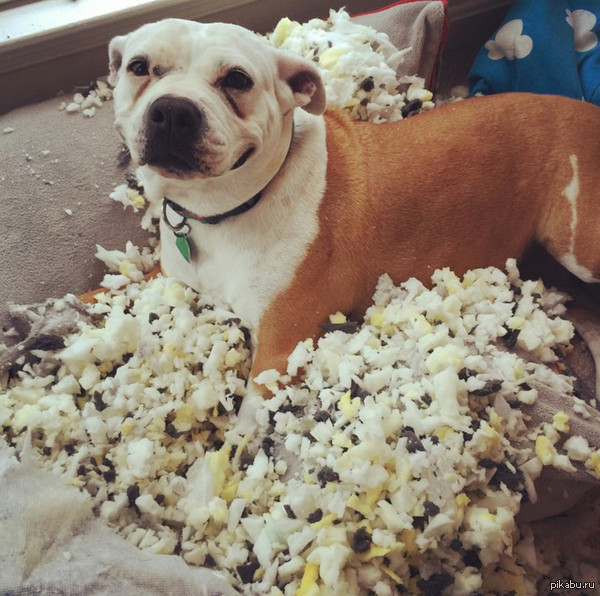 """счастливый собакен """"все постят картинки с их собаками, которые выглядят виновато, и есть моя собака, которая очень довольна своей работой"""""""