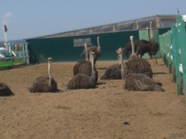 Сходка страусов