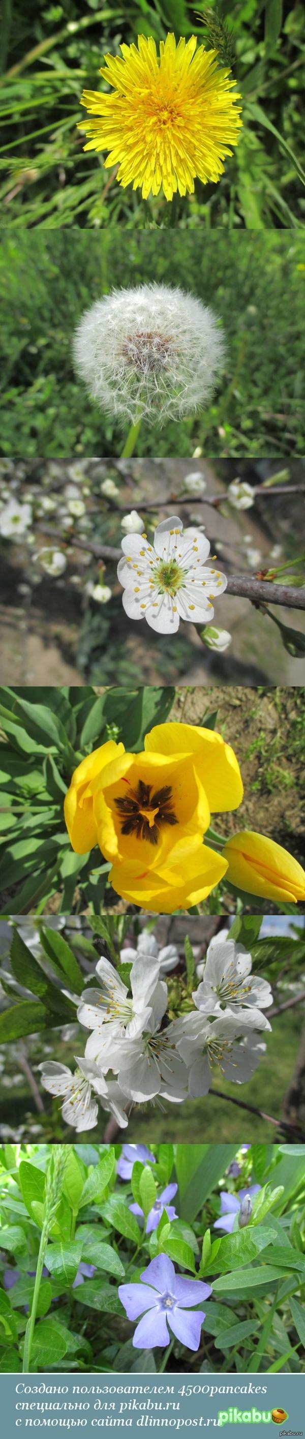 Весенние цветы Просто несколько фото с прогулки. Снято на Canon Ixus 135.