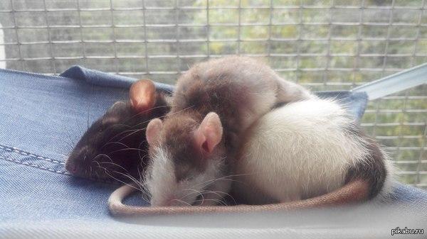 Спять усталые крысята. Вот такая кудряш-бараш стала соседкой нашей крысе.