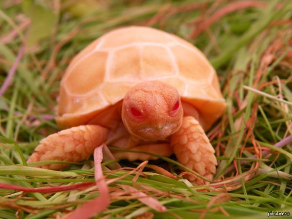 Это просто черепаха-альбинос. Но выглядит она так, как будто в ней пробудилось древнее зло...