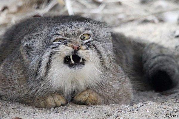 """Когда что-то застрало в зубах, и ты """"незаметно"""" пытаешься это вытащить На фото-манул, один из самых фотогеничных животных."""