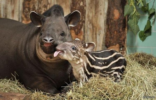 Просто детеныш тапира с мамой Хорошо,когда мама рядом :)