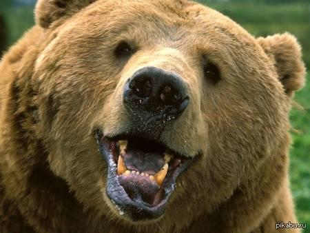 Неделя медведей на Пикабу объявляется открытой