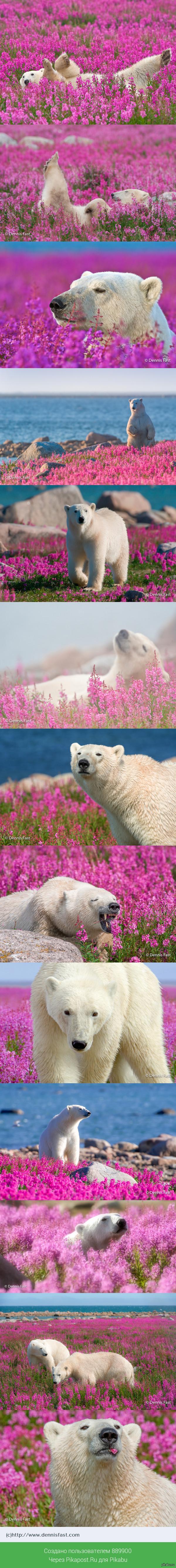 Белый медведь и снег - банально, канадскому фотографу удалось заснять медведей на цветочной поляне! Красота =)