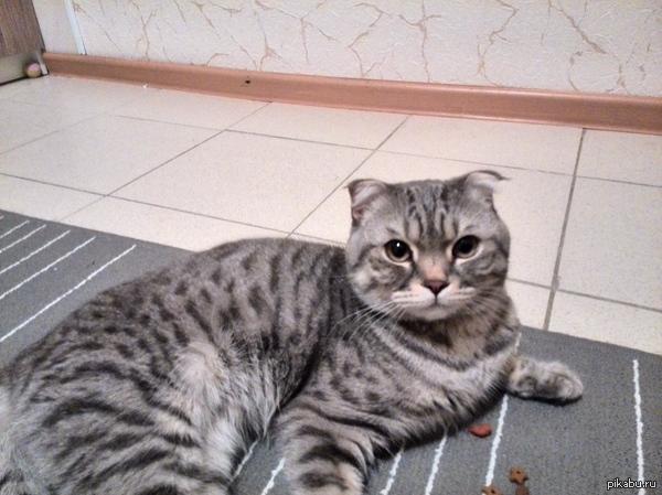 Найден кот. Говорят на пикабу любят котиков, г. Железнодорожный, мкр. Павлино.