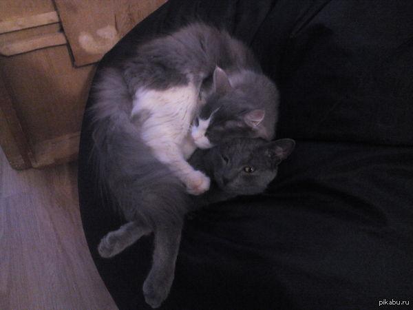 Котейки Девочки сверху. Наша мадама Лиска любит лежать на тепленьком и мягоньком Сёме.