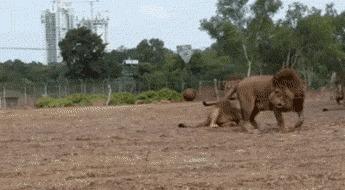 Большим кошкам - большие игрушки