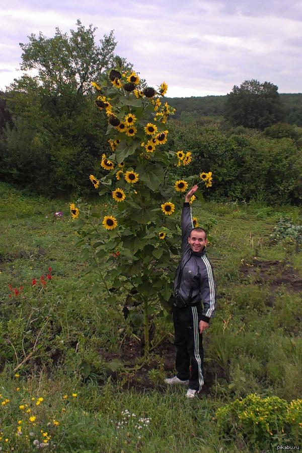 Подсолнух или ... Вот такое вот чудо выросло на огороде у моего товарища :) Мой рост 1.75м.