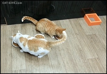 spay cat in heat