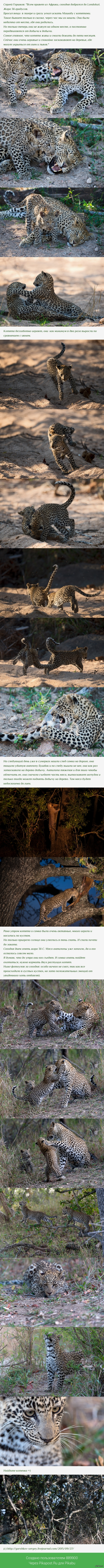 "Семейство леопардов Начало тут: <a href=""http://pikabu.ru/story/_3477497"">http://pikabu.ru/story/_3477497</a>"