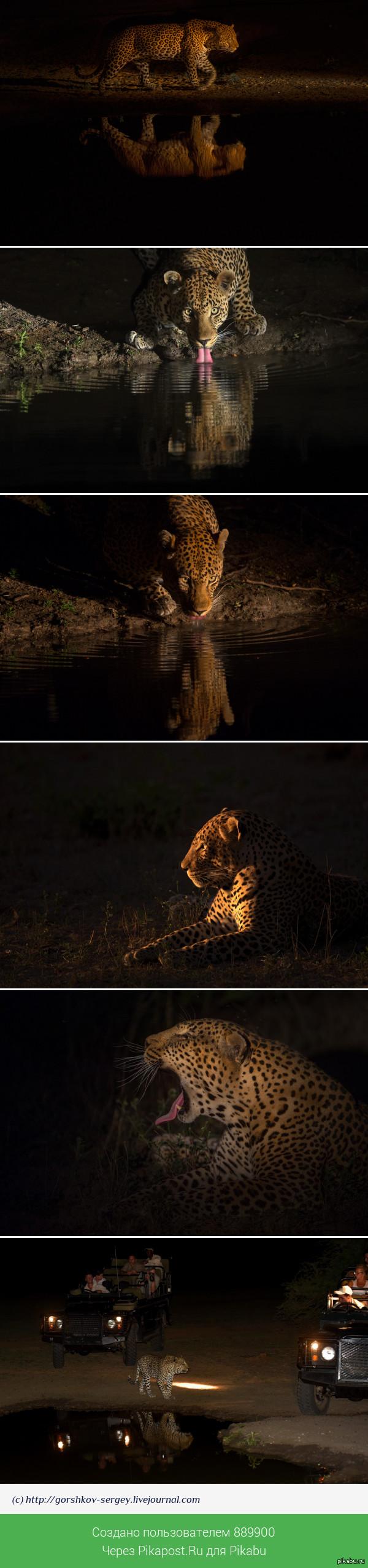 Ночные съемки леопарда