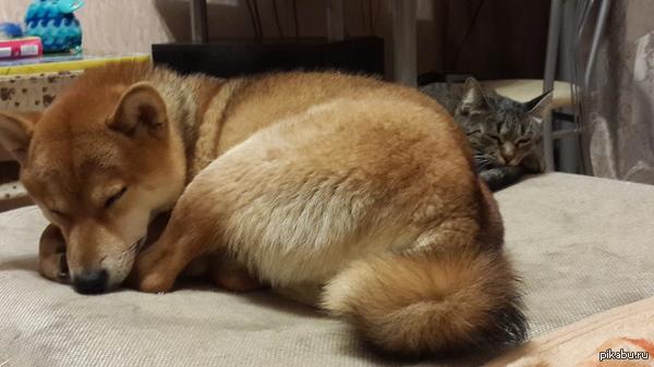 Собачье-кошачья идиллия Днем моя шибка носится по всему дому за кошкой, чтоб прикусить ее за задницу - за что получает по морде когтистой лапой. А вечером они спят почти в обнимочку)))