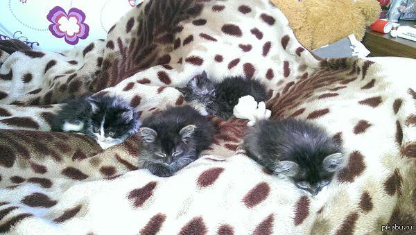 Спасёныши. Спасли с подругой с улицы в двухдневном возрасте месяц назад. Теперь у нас 6 котов. =)