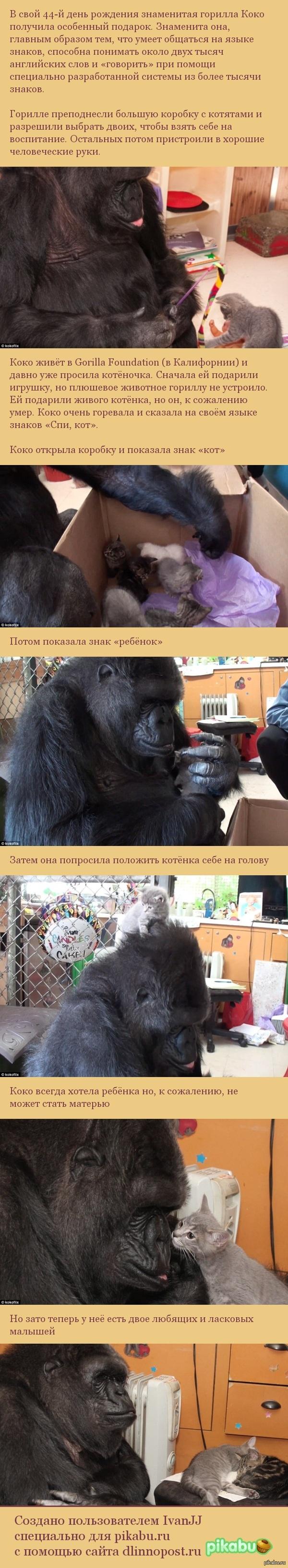 Приёмные дети гориллы Коко Ссылка на видио внутри