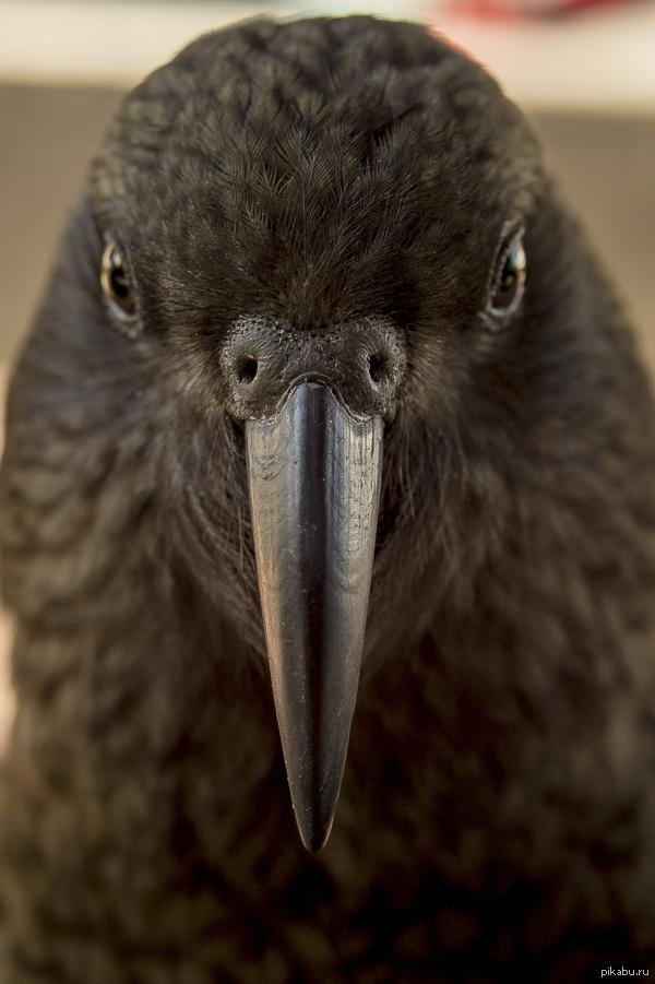 Плотоядный попугай Кеа из Новой Зеландии