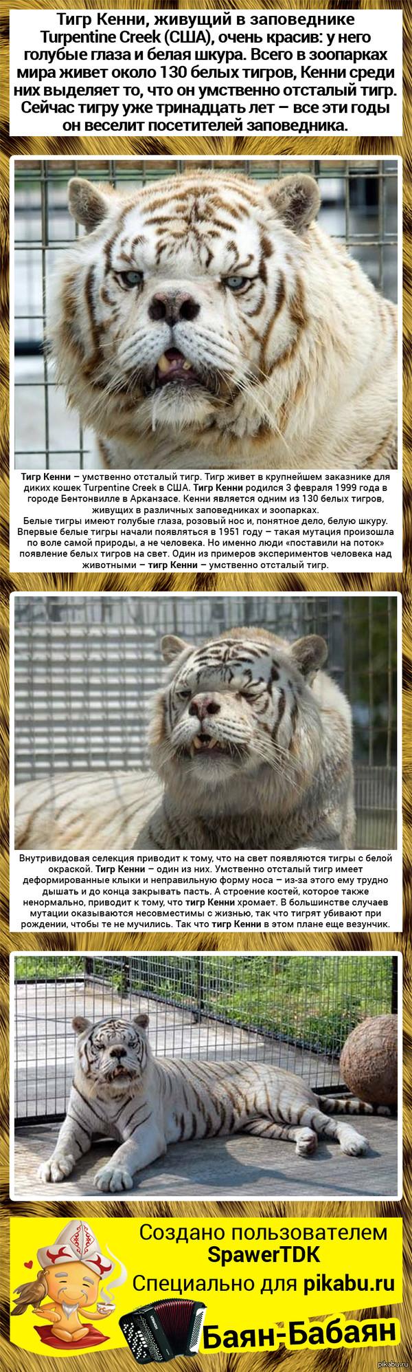 "Тигр Кенни, с которым никто не хочет дружить Немного инфы, в дополнению к посту - <a href=""http://pikabu.ru/story/yeto_kenni_s_nim_nikto_ne_khochet_druzhit_potomu_chto_on_umstvenno_otstalyiy_tigr_647645"">http://pikabu.ru/story/_647645</a>"