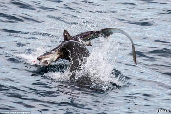 Морского льва фотографировали с научного судна. Чем-то подкармливали и тут приплыла акула.