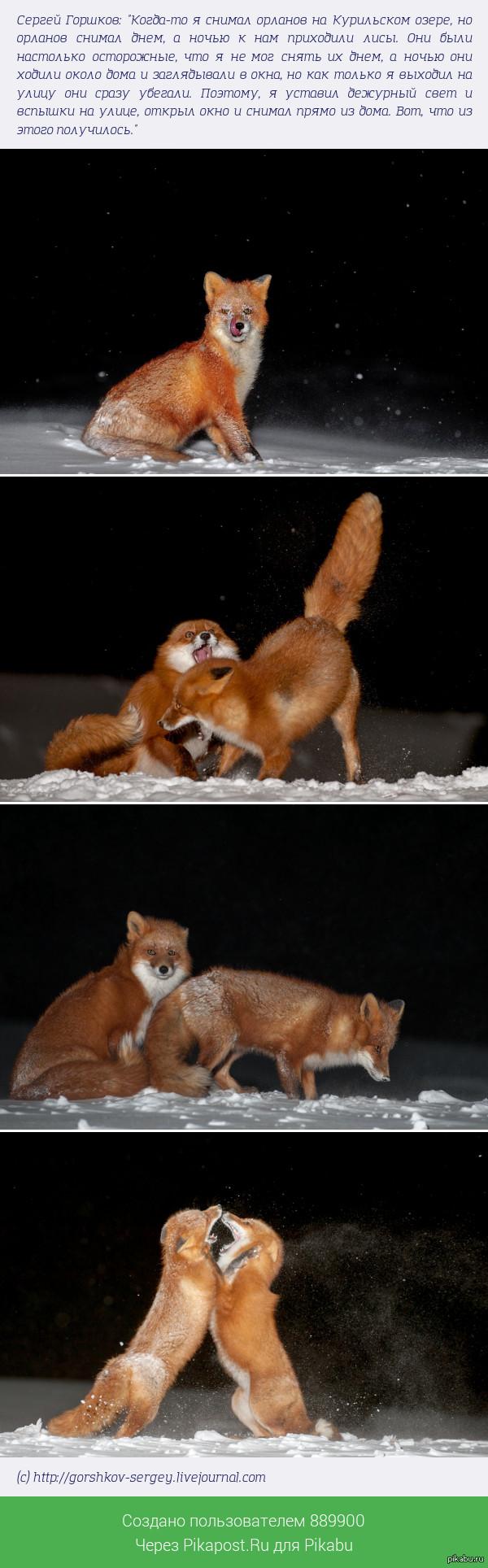 Ночные лисы с Курильского озера