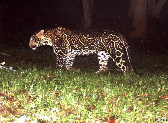 mutant leopards the messybeast - 585×430