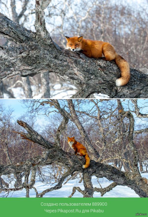 Лисичка на дереве =)