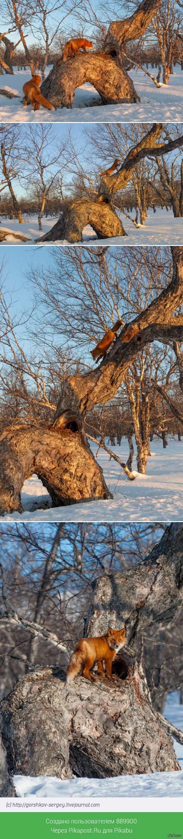 В  Кроноцком заповеднике лисы умеют залезать на деревья =) Раньше на лис активно охотились, но в заповеднике им живется спокойно, кроме фотографов их здесь  никто не беспокоит.