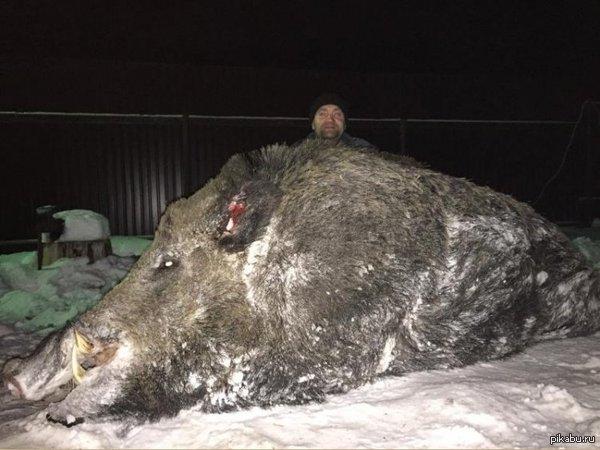 Бизнесмен из Челябинска завалил гигантского кабана в свердловских лесах Вес туши более 500кг