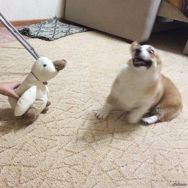 """Ээээ, бл*!""Мистер кряк против собаки-испугаки Как экспрессия! Какие эмоции!"