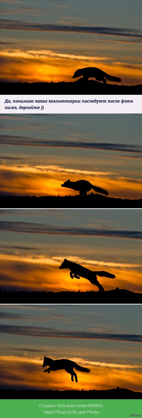 Мышкующий песец на закате..