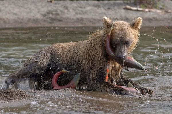 Медвежья рыбалка Медведь, Сергей Горшков, Курильское озеро, Длиннопост