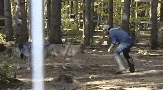 Борьба с волками. Видео в комментариях.