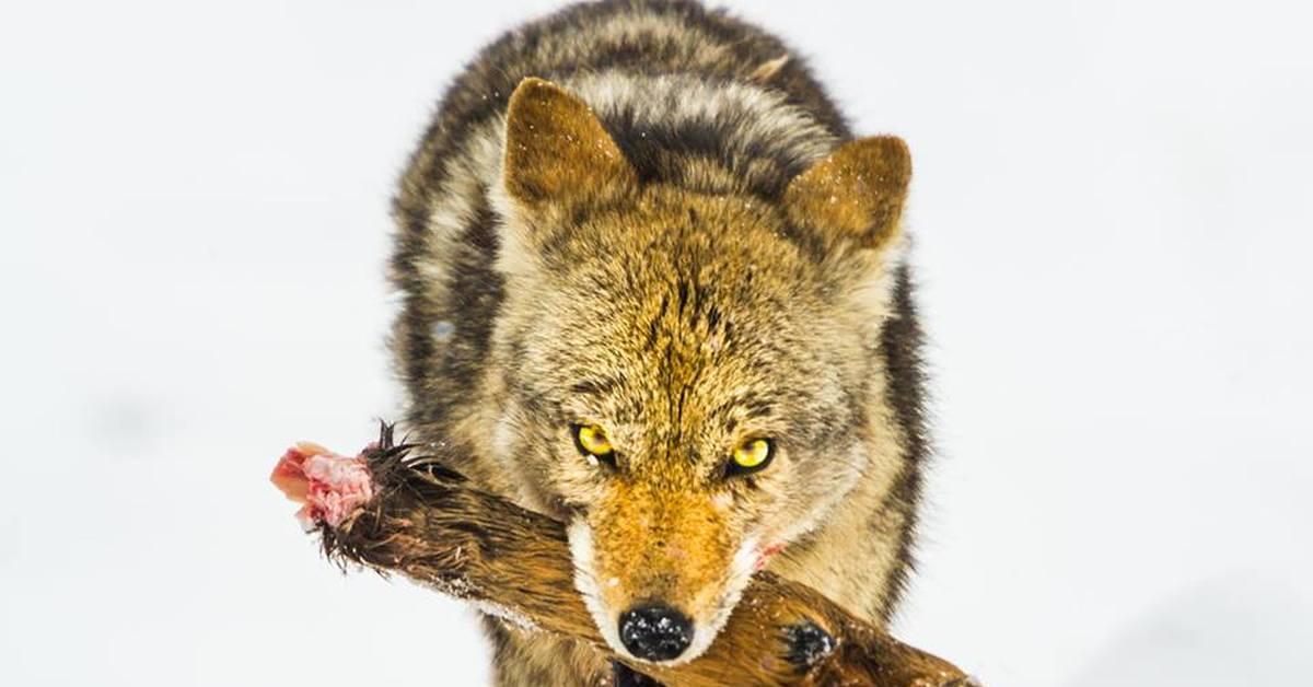 найти фото волка ноги кормят фильме застава