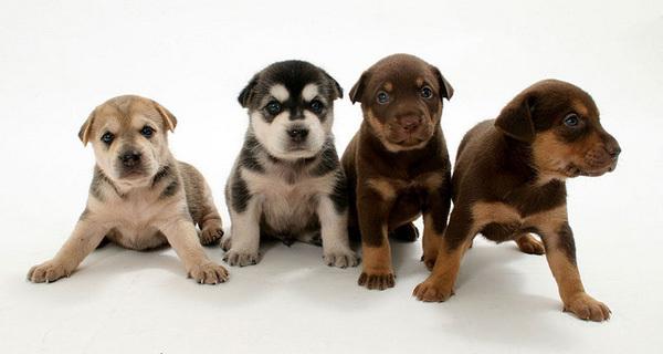 Выбор щенка, часть 2. И самая важная. | Пикабу