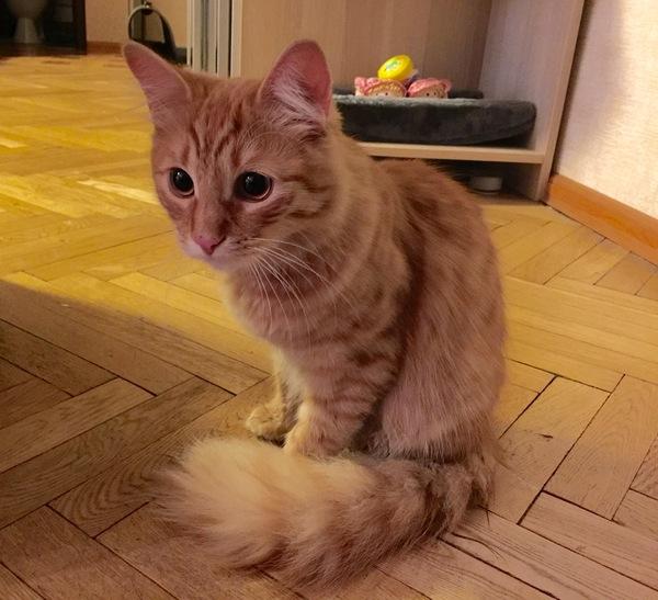 Найден кот. Москва. Найден кот, Кот, Ищу хозяина