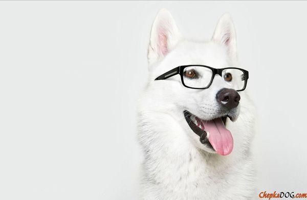 Топ 5 самых умных собак Топ, Породы собак, Собака, Длиннопост
