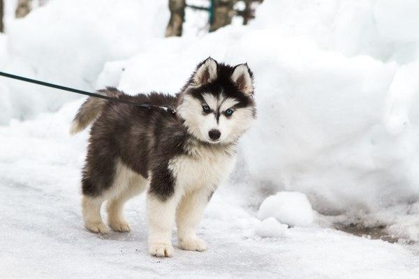 Хаски. Наши любимые четвероногие друзья! Хаски Команда HuskyBeat, Собака, Упряжка, Ездовой спорт, Снег, Длиннопост