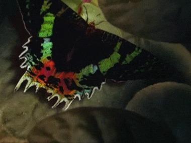 Крыло бабочки под микроскопом Бабочка, Крылья, Микроскоп, Увеличение, Интересное, Необычное, Zoom_journey, Гифка