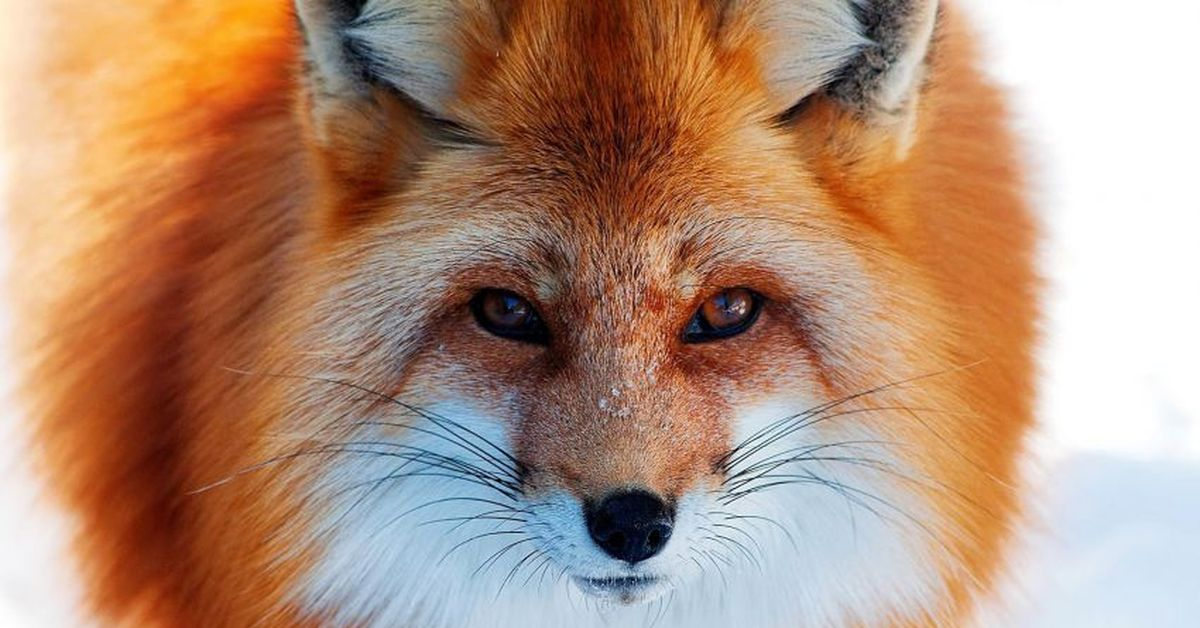The red fox has diverse habitats in a number of biomes around the world It may be spotted in forests grasslands mountains and deserts The animal is known to