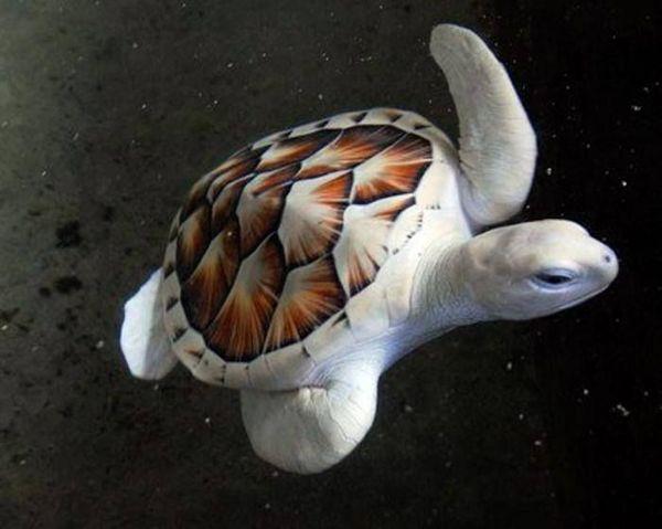 Морская черепаха альбинос.