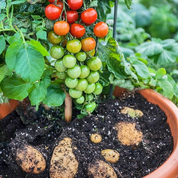 Малоизвестные гибриды фруктов, ягод и овощей Гибрид, Овощи, Фрукты, Длиннопост