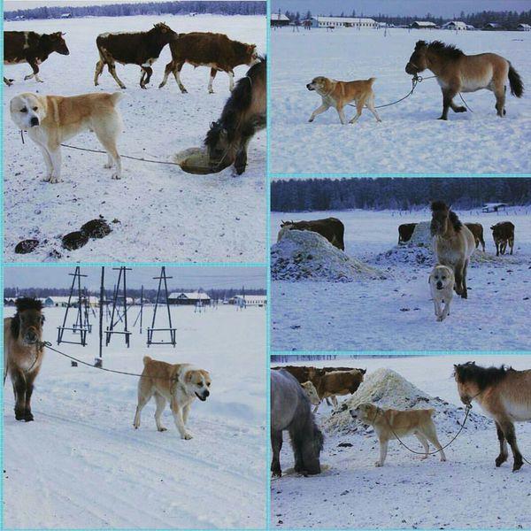 О трудолюбивой собаке Умке из якутского села Дюпся. Якутия, Лошади, Собака, Зима