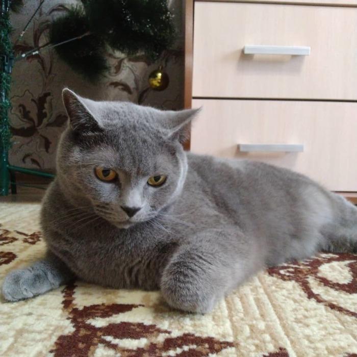 Кирилл и Мефодий. Спустя 5 месяцев. Кот, Кошатники, Британский кот, Шотландская вислоухая, Длиннопост