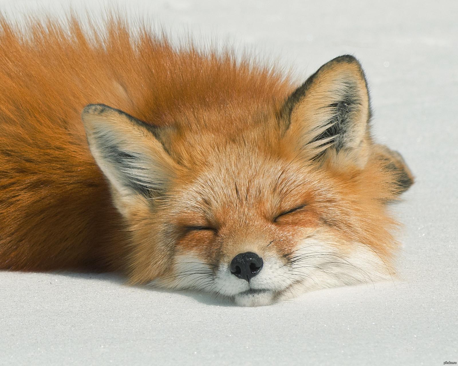 Лисичка Картинки Спящая лисичка ^_^