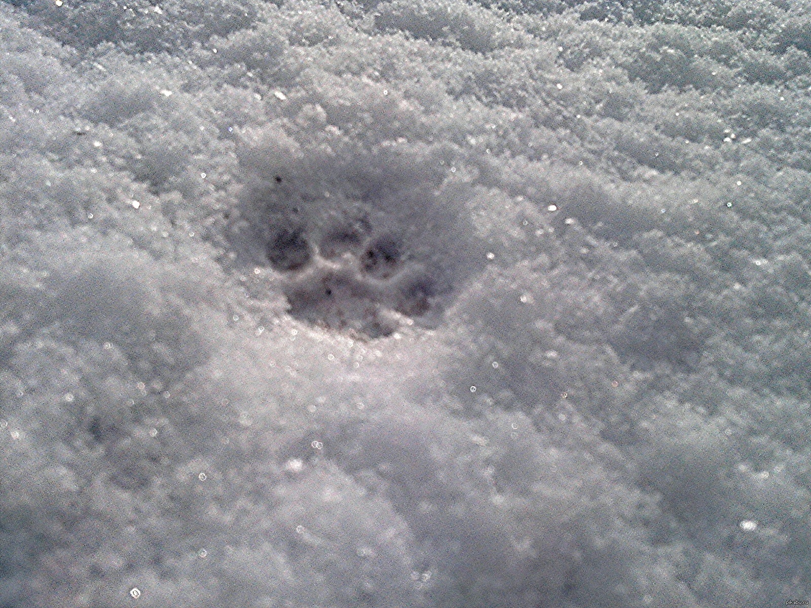 них следы рыси на снегу фото одном