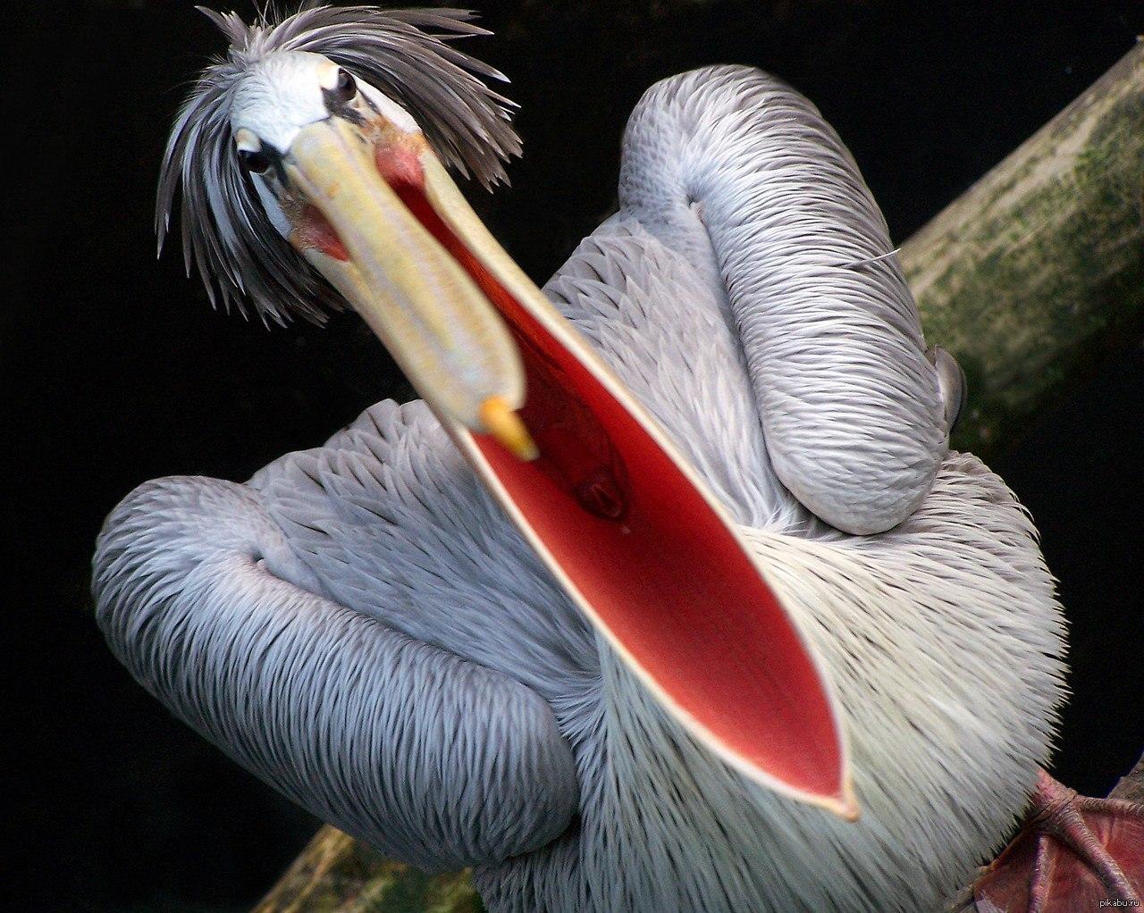 Смешной пеликан картинки