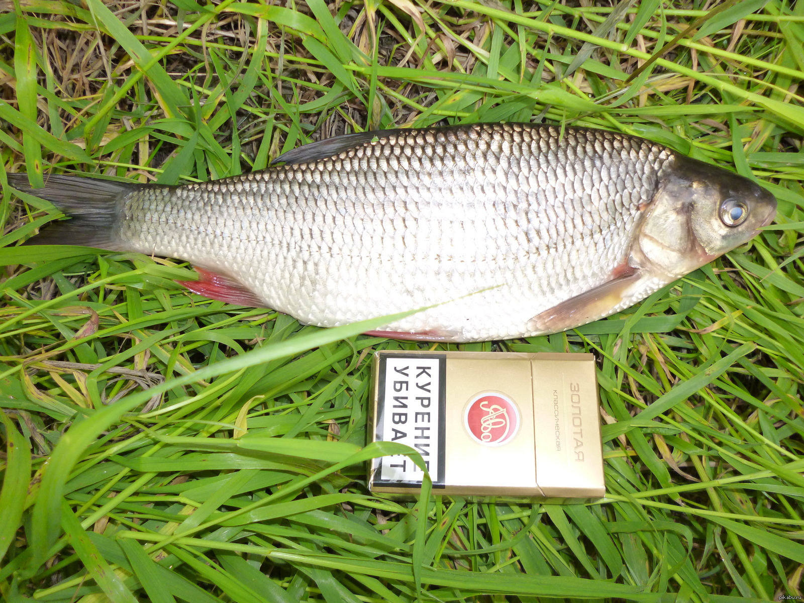 Язь рыба фото и описание