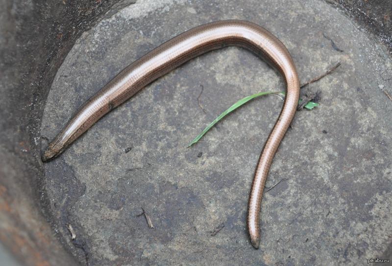 как выглядит медянка змея фото
